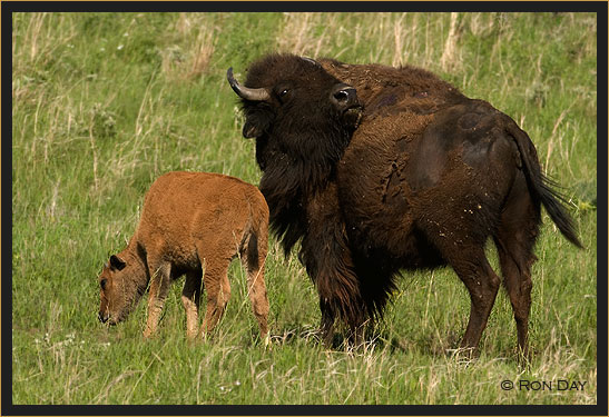Cow and Calf Bison on Grass Prairie
